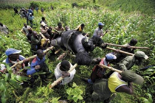 Evacuation of dead Mountain Gorillas, Virunga National Park