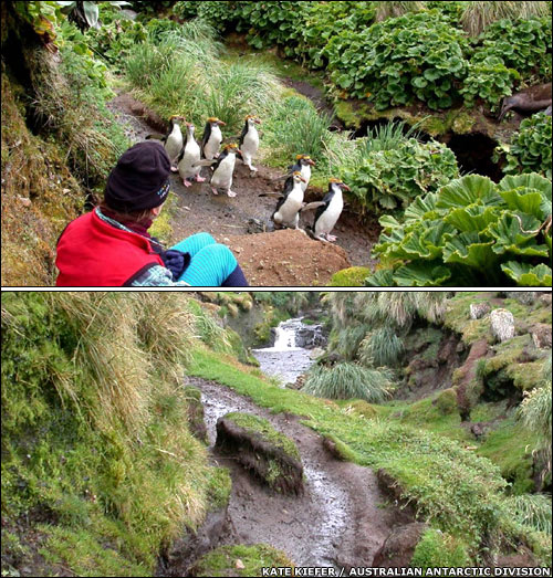 "Rabbits caused plant cover to decline starkly on this royal penguin ""run"" between 2001 (top) and 2007 (bottom). (From BBC)"